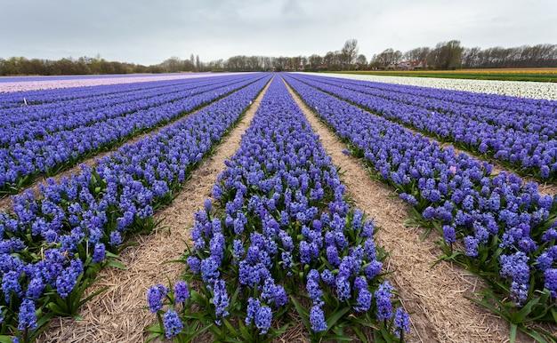 Jacinthe. belles fleurs de jacinthe dans le jardin de printemps, fond floral vibrant