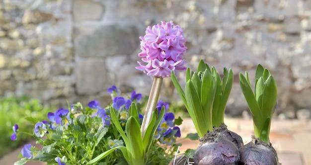 Jacinthe poussant dans pot de fleurs