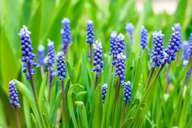 Jacinthe de raisin (muscari armeniacum) au printemps