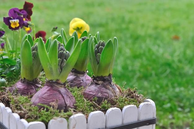 Jacinthes en fleurs