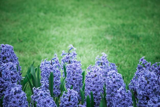 Jacinthes violettes vives sur un pré
