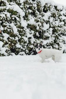 Jack russel chien dans la neige