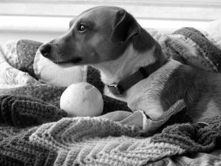 Jack russel, un chien