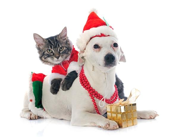 Jack russel terrier et chaton