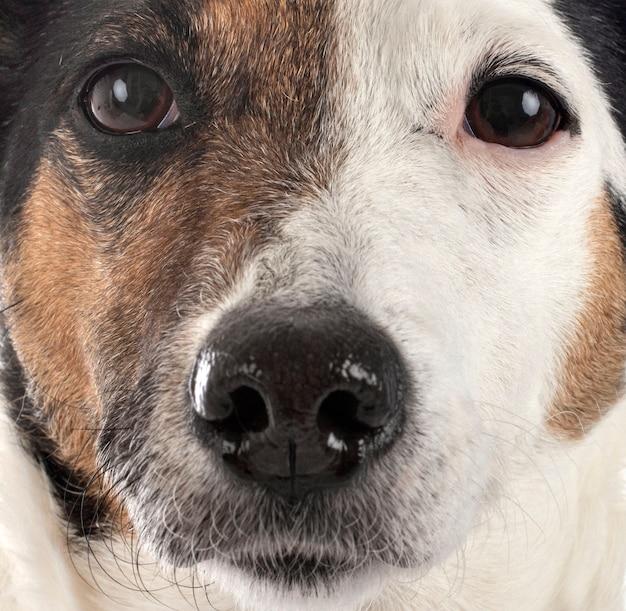 Jack russel terrier face gros plan
