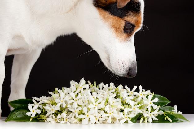 Jack russell sent les fleurs de jasmin