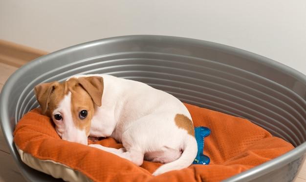 Jack russell terrier allongé sur un lit de chien