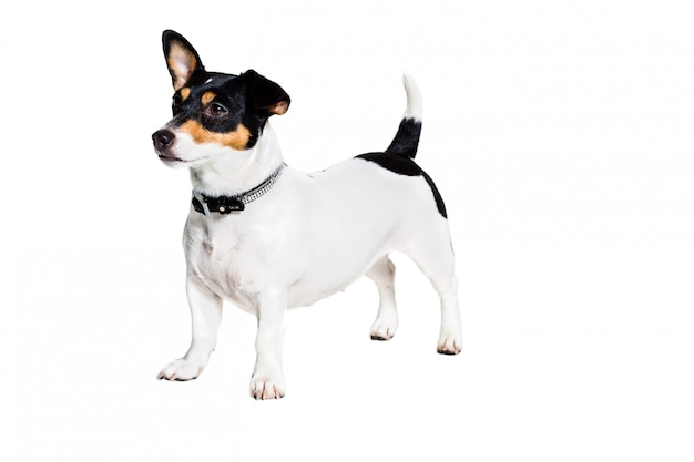 Jack russell terrier sur blanc