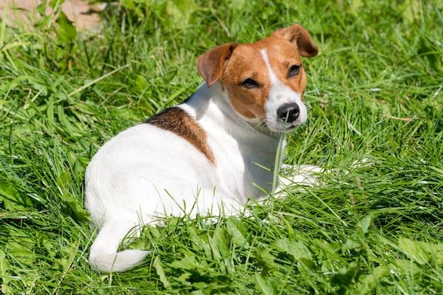 Jack russell terrier chien assis sur le terrain en herbe