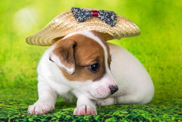 Jack russell terrier chiot chien dans un chapeau sur fond vert