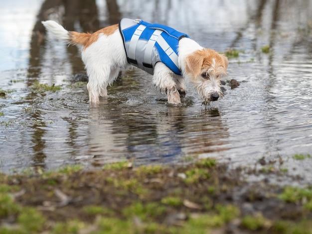 Jack russell terrier chiot dans un gilet de sauvetage bleu marche sur l'eau.