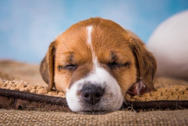 Jack russell terrier chiot dormir doucement sur un lit moelleux