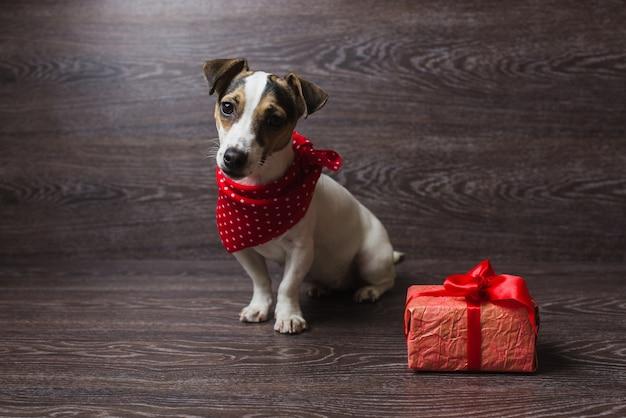 Jack russell terrier avec coffret cadeau festif.