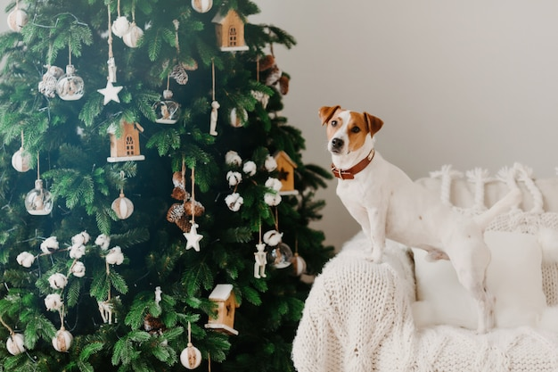 Jack russell terrier dog pose près de l'arbre christams décoré sur un fauteuil à carreaux blancs.