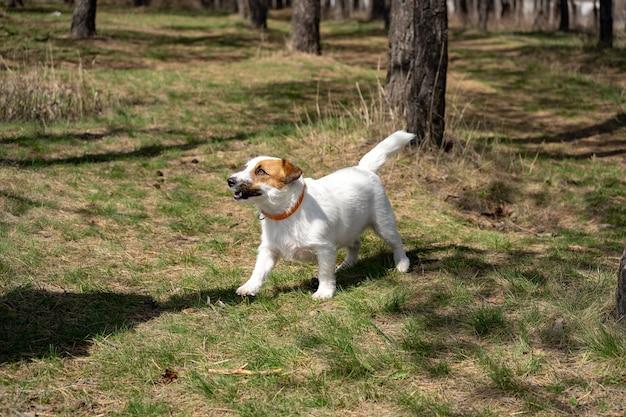 Jack russell terrier ludique assis sur un sol et regardant dans la caméra en marchant dans un parc. museau de chien bouchent