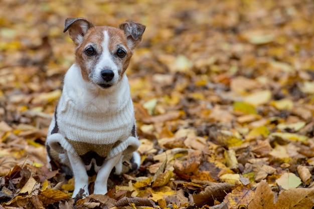 Jack russell terrier mature en forêt au jour d'automne, le chien est assis sur le feuillage d'automne jaune.