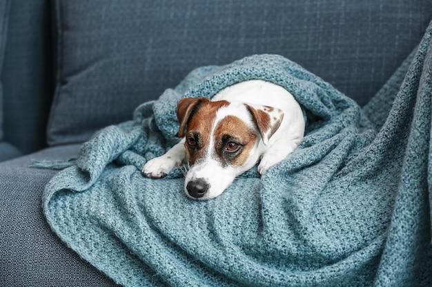 Jack russell terrier mignon sur canapé à la maison