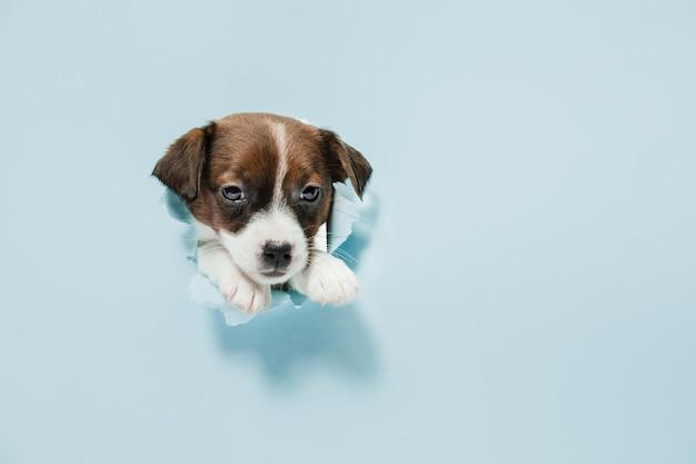Jack russell terrier petit chien qui sillonne, posant isolé sur mur bleu. amour de l'animal, concept d'émotions drôles. copyspace pour l'annonce. posant mignon. animal de compagnie actif en mouvement, action.