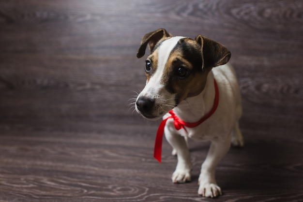 Jack russell terrier pose