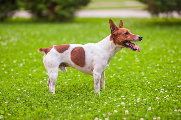 Jack russell terrier se dresse sur l'herbe