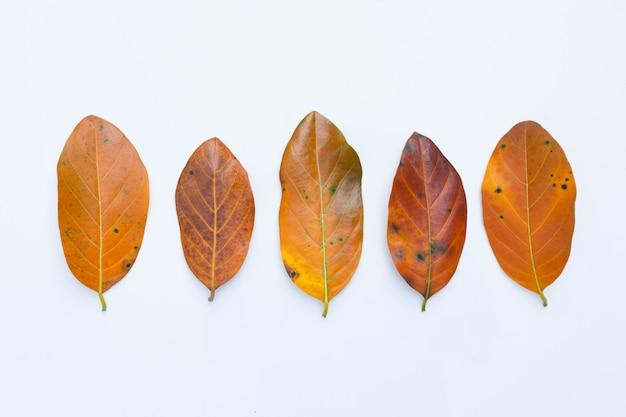 Jacquier feuilles sur blanc.