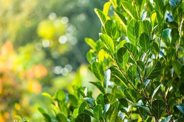 Jacquier vert feuilles bokeh arrière-plan flou.