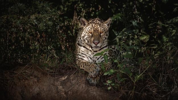 Jaguar américain dans l'habitat naturel de la jungle sud-américaine