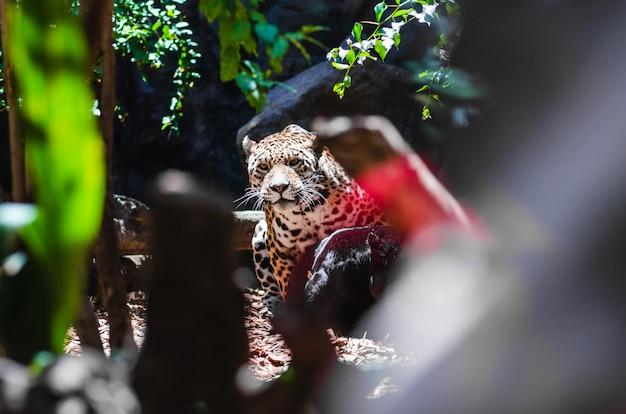 Jaguar caché parmi la végétation