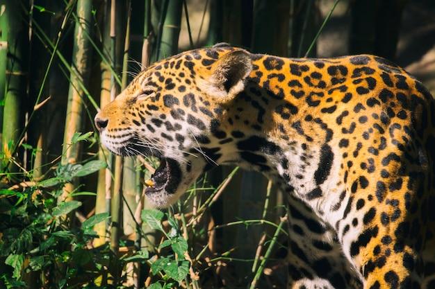 Jaguar rugissant entre les plantes