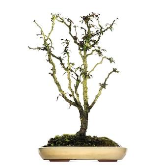 Japanese cherry bonsaï, prunus serrulata, isolé sur blanc