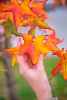 Japanese maple - acer palmatum ssp amoenum