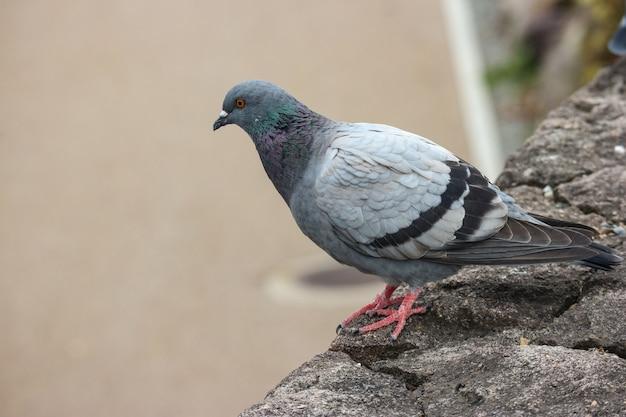 Japonais oiseau colombe debout sur la pierre.