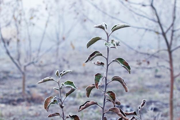 Jardin d'automne et d'hiver avec des feuilles de pommier recouvertes de givre sur un arbre dans le brouillard