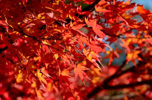 Jardin d'érable en automne. feuilles d'érable rouge en automne.