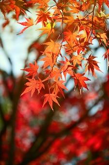 Jardin d'érable en automne.
