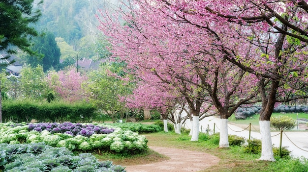 Jardin de fleurs de cerisier à la station agricole royale d'angkhang.