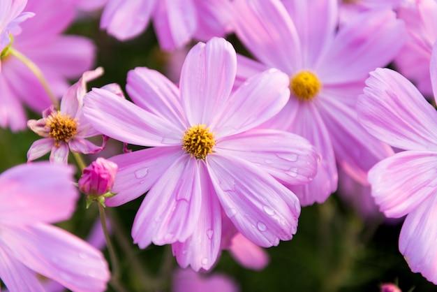 Jardin de fleurs cosmos closeup rose
