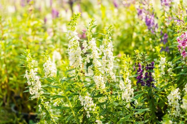 Jardin de fleurs de lavande