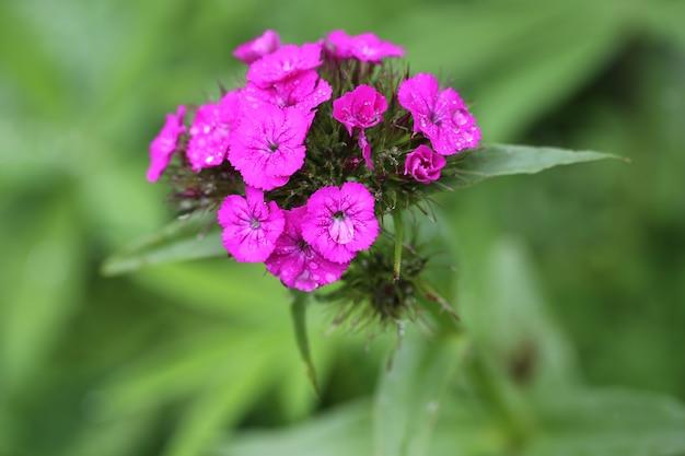 Jardin de fleurs d'oeillets