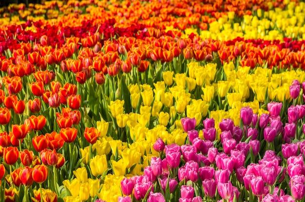 Jardin de fleurs de tulipes colorées.