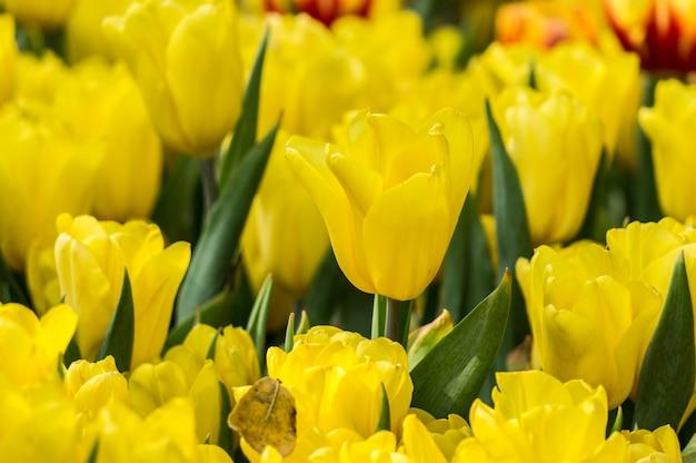 Jardin de fleurs de tulipes jaunes.