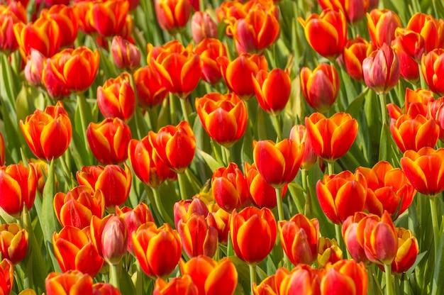 Jardin de fleurs de tulipes orange rouge.