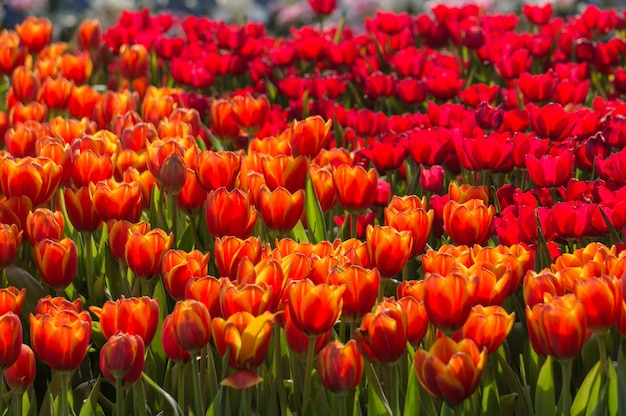Jardin de fleurs de tulipes rouges et oranges.
