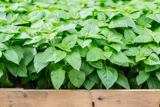 Jardin d'herbes aromatiques avec étiquette, plante propre non toxique, légumes biologiques à usage alimentaire.