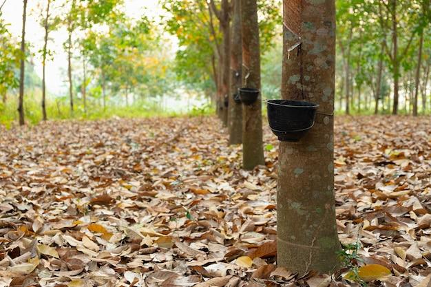 Jardin d'hévéas en asie. latex naturel extrait de la plante de caoutchouc para.le gobelet en plastique noir est utilisé pour mesurer le latex de l'arbre.