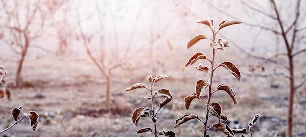 Jardin d'hiver dans la brume matinale avec des feuilles de pommier recouvertes de givre sur un arbre au lever du soleil