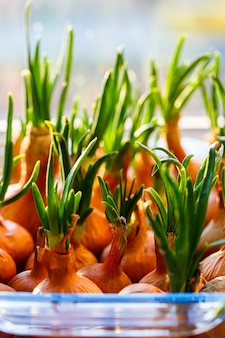 Un jardin de jeunes oignons sur un rebord de fenêtre.culture d'oignons sur le rebord de la fenêtre. oignons verts frais à la maison jardinage d'intérieur cultivant des oignons de printemps dans un pot de fleurs sur le rebord de la fenêtre. pousses fraîches d'oignon vert