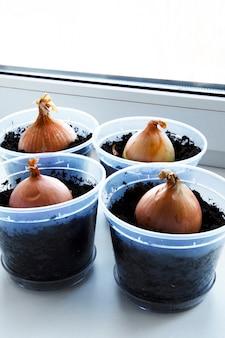 Un jardin de jeunes oignons sur un rebord de fenêtre.culture d'oignons sur le rebord de la fenêtre.