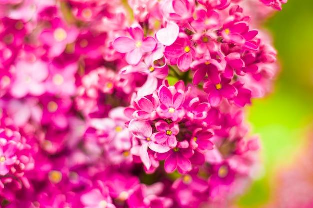 Jardin de lilas, fleur et fleur de lilas colorés, fleur de printemps, jardin botanique de tbilissi