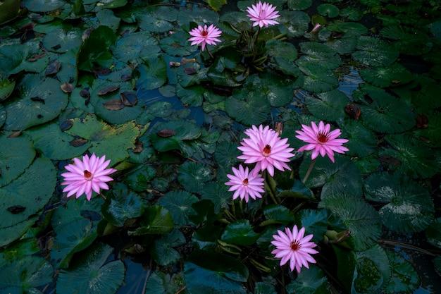 Jardin de lotus rose flottant dans l'étang, fleurs de lys warter